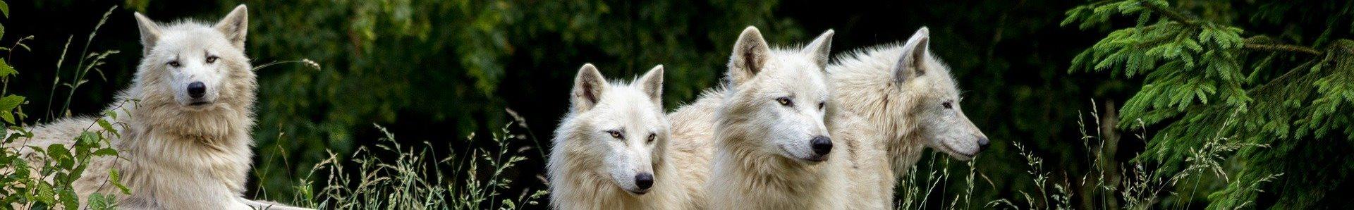 Bandeau Les Ptits Loups wolves 3785362 1920